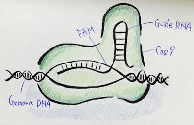 最近話題のゲノム編集「CRISPR/Cas system」についてまとめてみた!